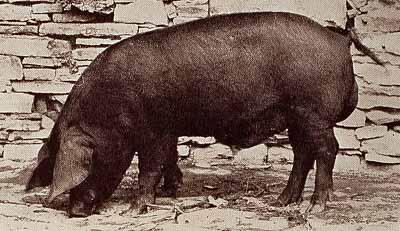 """Un verro della razza """"Grande nera"""": Da Agricoltura Parmense, 1934."""