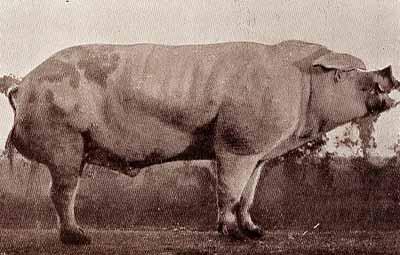 """Un verro della razza """"Borghigiana"""": Da Agricoltura Parmense, 1934."""