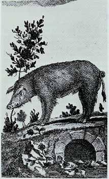 Jacopo Leonardis, Il porco. Incisione XVIII secolo