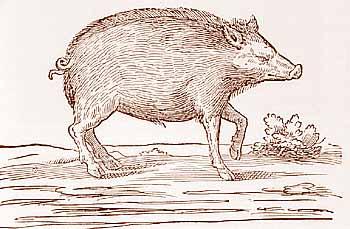 Ulisse Aldrovandi, Il porco: Xilografia, XVIII sec.