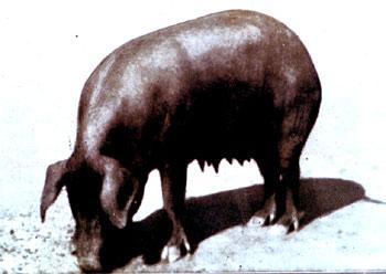 """Scrofa di razza """"Grande Nera"""": da Agricoltura Parmense, 1934."""